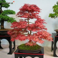 10-of-red-maple-tree-seeds-bonsai-tree-plants-pot-suit-for-diy-home-garden