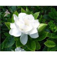 200-perennial-shrubs-flower-tree-seeds-cape-jasmine-gardenia-evergreen-shrubs