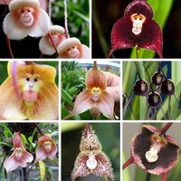 200pcs-monkey-face-orchid-flower-seeds-mix-beautiful-flower-home-garden
