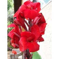 25-red-canna-lily-bulbs