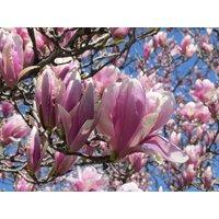 1-jane-magnolia-shrubtree