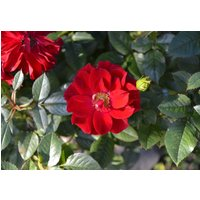 25-red-rugosa-rose-seeds-rosa-rugosa-rubra-deep-hardy-fast-fragrant