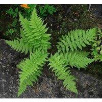 10-lady-ferns-bare-root-athyriun-filix-femina
