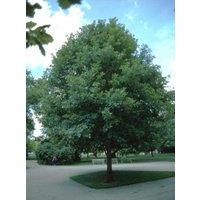 1-white-oak-tree-quercus-alba