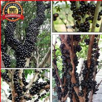 60-brazilian-grape-tree-seeds-jabuticaba-grows-fruits-on-its-trunk-rare