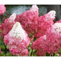 vanilla-strawberry-pink-panicle-hydrangea-live-plant-quart-pot