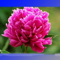 rare-hong-lou-fei-cui-red-peony-seedling-flower-5-seeds-light-fragrant-flowers