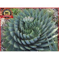 100-spiral-aloe-seeds-aloe-polyphylla-rare-exotic-wild-easy-grow
