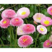 daisy-english-bellis-perennis-1000-seeds