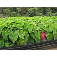 3-colocasia-esculenta-elepant-ear-taro-gabi-kalo-bulbs-buy-3-sets-get-1-free