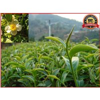 50-fresh-green-tea-plant-seeds-camellia-sinensis-original-green-tea