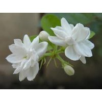 buy-1-arabian-jasmine-flower-plant-mogra-or-jasminum-sambac-live-plant-for-home
