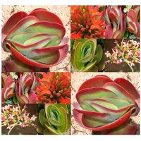 15-kalanchoe-rotundifolia-seeds-inflorescence-orange-blooms