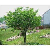 1-eastern-red-bud-cercis-canadensis