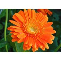 heirloom-250-seeds-calendula-officinalis-pot-english-marigold-orange-golden