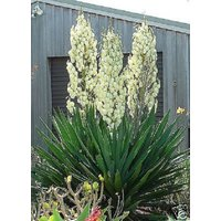 30-adams-needle-yucca-filamentosa-shrub-seeds