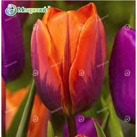 tulip-seeds-tulip-flower-seeds-perennial-home-garden-10pcs-color-12