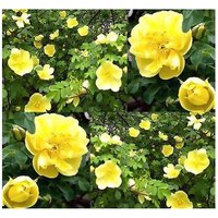 10-canary-bird-rose-seeds-rosa-xanthina-spontanea