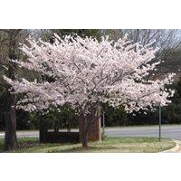 2-yoshino-flowering-cherry-tree