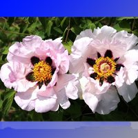rare-zi-ban-pink-peony-tree-with-black-spot-flower-5-seeds-beautiful-garden
