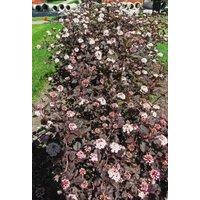 1-crimson-diablo-ninebark-shrub