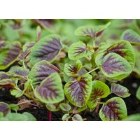 organic-heirloom-3600-seeds-amaranth-chinese-spinach-red-edible-vegetable