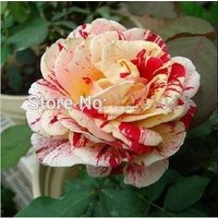 flower-seeds-200pc-spots-rose-seeds-rare-bush-bonsai-plants-home-garden