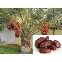 10-date-palm-phoenix-dactylifera-fresh-exotic-palm-fruit-tree-seeds