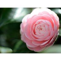 10-seeds-camellia-japonica-japanese-camellia-tea-flower-rose-of-winter-tree-seed