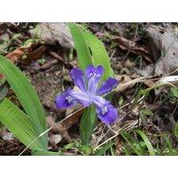 5-wild-iris-bulbs
