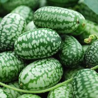 mexican-mini-sour-gherkins-aka-cucamelon-15-seeds