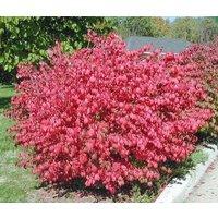 10-dwarf-burning-bush-hardy-shrub-bare-root-euonymus-alatus-hardy-shrub-plants