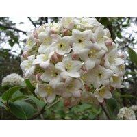 korean-spice-viburnum-carlesii-shrub-established-rooted-25-potted-3-plants