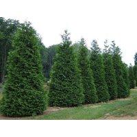25-green-giant-arborvitaethuja-plicata-3-inch-pot