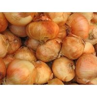 20-allium-granex-vidalia-onion-maui-sweet-seeds
