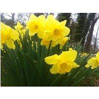 100-wild-daffodil-flower-bulbs-narcissus-pseudonarcissus