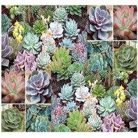 20-desert-rose-mix-echeveria-species-succulent-mix