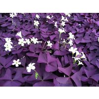 2-red-oxalis-wood-sorrel-flower-purple-shamrock-clover-100-real-flower-bonsai