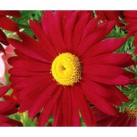 pyrethrum-red-chrysanthemum-coccineum-100-seeds