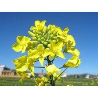 900-bulk-seeds-rapeseed-vegetable-rape-seed-garden-flowers-yellow