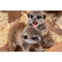 Meerkat Experience For Two Adults And Two Children At The Animal Experience Picture