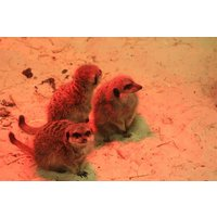 Meet The Meerkats With Park Entry For Two At Ark Wildlife Park Picture