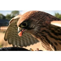 Falconer for a Day with Lunch at Shropshire Falconry - Falconry Gifts
