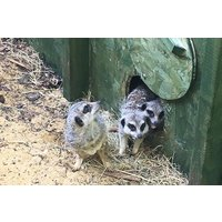 Meet The Meerkats Experience For Two At Willow's Bird Of Prey Centre Picture
