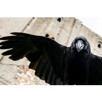 Meet Loki the Raven Experience for Two with Coda Falconry - Falconry Gifts