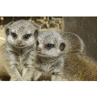 Meerkat Encounter For Two In Lincolnshire Picture