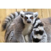 Meet The Lemurs Experience For Two At Ventura Wildlife Park Picture