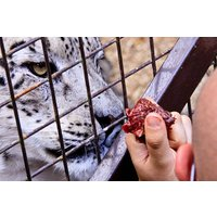 Feed Big Cats By Hand Experience At Paradise Wildlife Park Picture