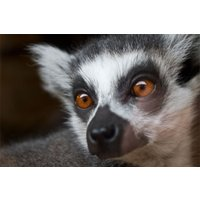 Meet The Lemurs And Afternoon Tea For Two At Kirkley Hall Zoo Picture