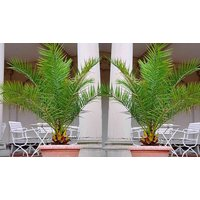 1 or 2 Canary Island Palm Trees with Optional Planters & Compost